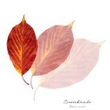 Colagem com as folhas da cereja ácida fotografia de stock