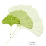 Colagem com as folhas verdes do ginkgo Imagens de Stock Royalty Free