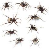 Colagem da aranha fêmea que carreg seus ovos Imagens de Stock Royalty Free