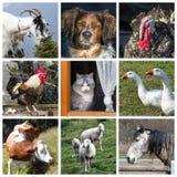 Colagem da exploração agrícola de animais Imagens de Stock