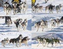 Colagem da raça tradicional do pequeno trenó de cão de Kamchatka Imagens de Stock Royalty Free