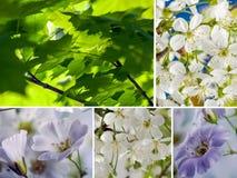 Colagem das flores brancas e das folhas verdes do bordo imagem de stock royalty free