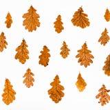 colagem das folhas de outono do carvalho comum Imagens de Stock Royalty Free