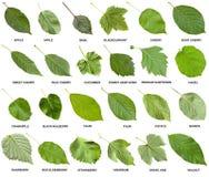 Colagem das folhas verdes das árvores com nomes Foto de Stock