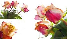 Colagem das rosas fotografia de stock royalty free