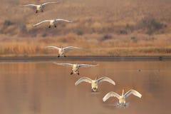 Colagem de diversos quadros de uma aterrissagem de uma cisne imagens de stock