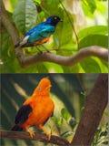 Colagem de pássaros azuis e alaranjados coloridos Imagem de Stock