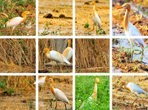 Colagem do Egret Fotos de Stock Royalty Free