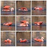 Colagem do flamingo Fotografia de Stock