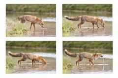 Colagem do Fox Fotos de Stock Royalty Free