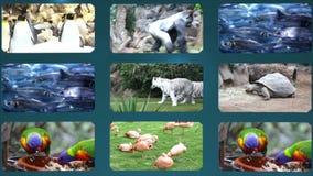 Colagem do jardim zoológico com tigre video estoque