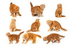 A colagem do scottish das fotos dobra o mármore vermelho felino no creme fotos de stock royalty free