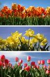 Colagem do Tulip Foto de Stock Royalty Free