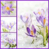 Colagem dos açafrões Foto de Stock Royalty Free