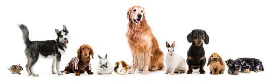 Colagem dos animais de estimação isolados no fundo branco imagem de stock royalty free