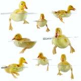 Colagem dos patinhos bonitos que flutuam na água Fotos de Stock Royalty Free