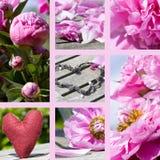 Colagem dos peonies na cor-de-rosa Fotografia de Stock Royalty Free
