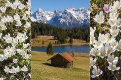 Colagem - paisagem alpina e açafrão adiantado da mola Imagem de Stock