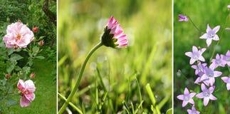 Colagem - wildflowers do jardim:  selvagem aumentou, a margarida no gramado, seja Imagem de Stock