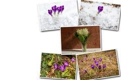 Colagens de açafrões roxos em um fundo branco Foto de Stock Royalty Free