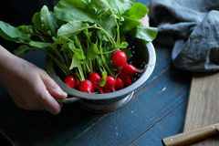 Colander with organic radish in hands. Farm food Royalty Free Stock Image
