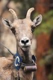 Colar de rádio desgastando de Canadensis do Ovis Fotografia de Stock Royalty Free