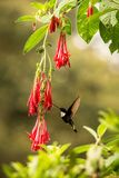 Colared inca howering next to red flower, Colombia hummingbird with outstretched wings,hummingbird sucking nectar from blossom,ani. Mal in its environment, bird stock photo