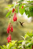 Colared inca howering next to red flower, Colombia hummingbird with outstretched wings,hummingbird sucking nectar from blossom,ani. Mal in its environment, bird stock image
