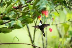 Greenish puffleg sitting on branch, hummingbird from tropical forest,Colombia,bird perching,tiny bird resting in rainforest,clear. Colared inca howering next to stock photo