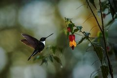 Greenish puffleg sitting on branch, hummingbird from tropical forest,Colombia,bird perching,tiny bird resting in rainforest,clear. Colared inca howering next to royalty free stock image