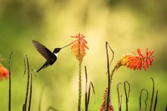 Greenish puffleg sitting on branch, hummingbird from tropical forest,Colombia,bird perching,tiny bird resting in rainforest,clear. Colared inca howering next to royalty free stock photo