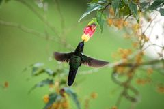 Colared inca howering next to yellow and orange flower, Colombia hummingbird with outstretched wings,hummingbird sucking nectar fr. Om blossom,animal in its royalty free stock image