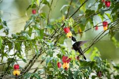 Colared inca howering next to yellow and orange flower, Colombia hummingbird with outstretched wings,hummingbird sucking nectar fr. Om blossom,animal in its stock image