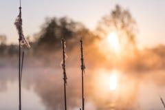 Colas de Cat's por la mañana de levantamiento Sun que refleja en el lago imagen de archivo