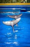 Colas de los delfínes del baile Fotos de archivo libres de regalías
