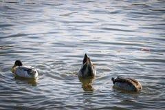Colas del pato para arriba mientras que desayunando Foto de archivo