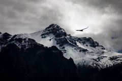 Colca Canyon. A flying condor over Colca canyon, Peru. The second worlds deepest canyon Royalty Free Stock Photo