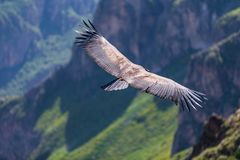 Backview of Condor flying over the colca Canyon in chivay, Peru looking for dead prey. Colca under gliding canyon birdwatching flying arequipa weightless feather stock photos