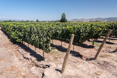Colchagua谷的智利葡萄园 库存图片