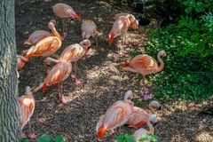 Group of vibrantly coral pink coloured famingos in a group on land and in the shade. Colchester, Esssex, England, UK - July 27, 2018: Group of flamingos on land royalty free stock photography