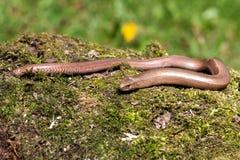 Colchica lento del Anguis del gusano Imagen de archivo