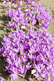 Colchicum Stock Photography