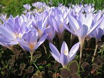 colchicum Royaltyfria Bilder
