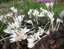 colchicum Стоковые Фото