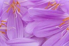 Colchicum Arkivfoton