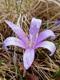 COLCHICUM ALPINUM. This attractive rosy-purple colchicum produces two to three leaves after flowering. Native to central Europe, this small plant resembles Royalty Free Stock Photos