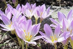 Colchicum autumn Royalty Free Stock Images