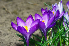 Colchicum autumnal Stock Image