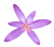 Colchicum autumnale Royalty Free Stock Photo
