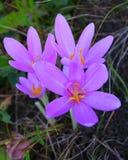 Colchicum autumnale, allgemein bekannt als Herbstzeitlose, Wiesensafran oder nackte Damen lizenzfreie stockbilder